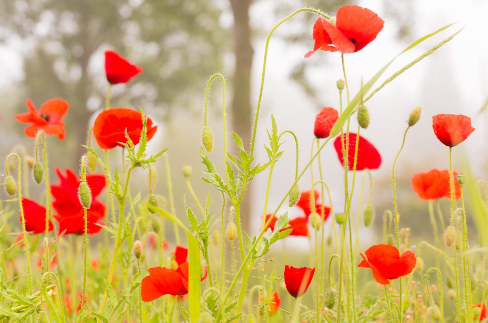 Spring = Poppies!